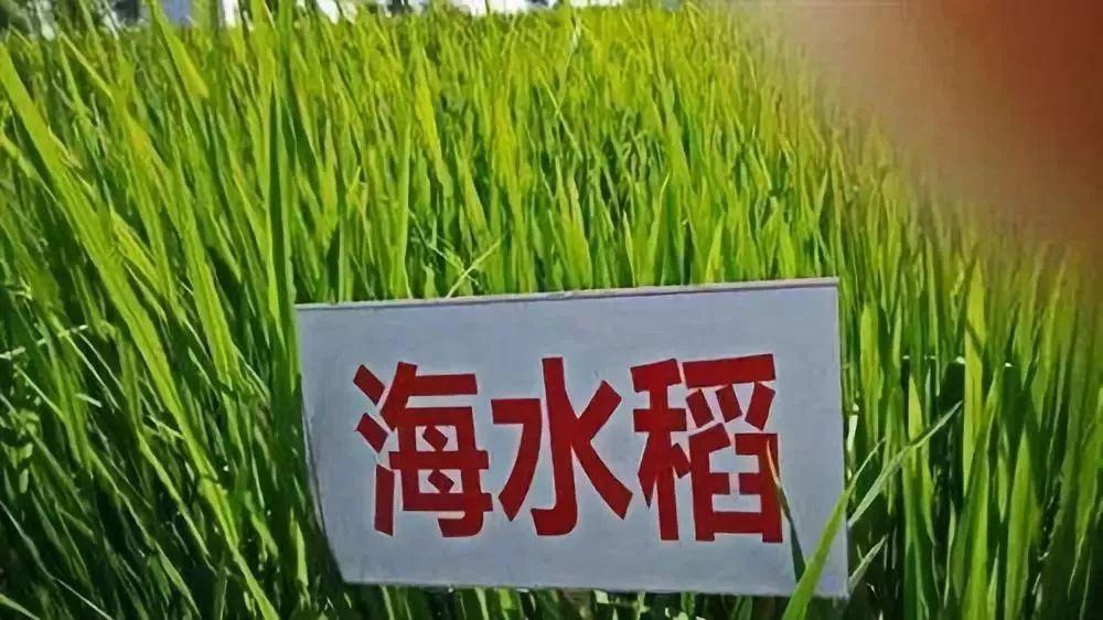 炒概念名不副实?关于海水稻,这些问题你需要了解……